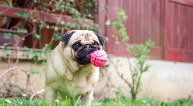 Stock image of a pug with a ball
