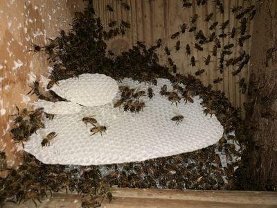 Honeybees at Veranda