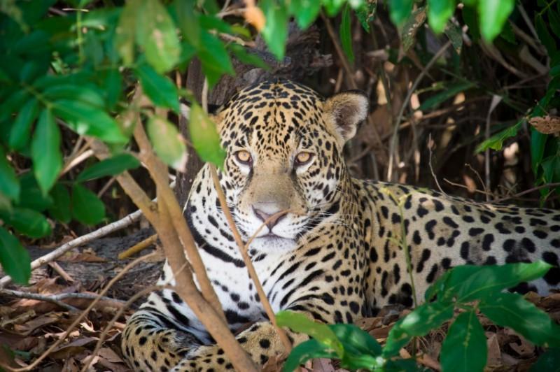 Jaguar_000008006231_IS-800x532