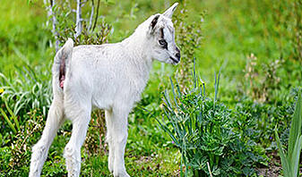 what is goat yoga with a baby goat standing in a green pasture