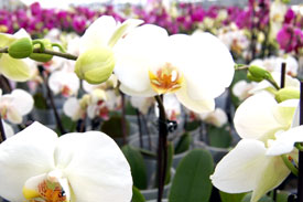 Photos of Phalaenopsis orchids