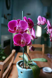 Phalaenopsis orchids are monopodial