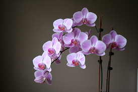 simple orchid care