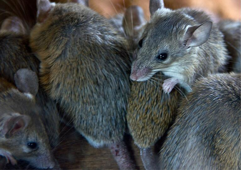 The Mouse Plague: Will It Reach WA?
