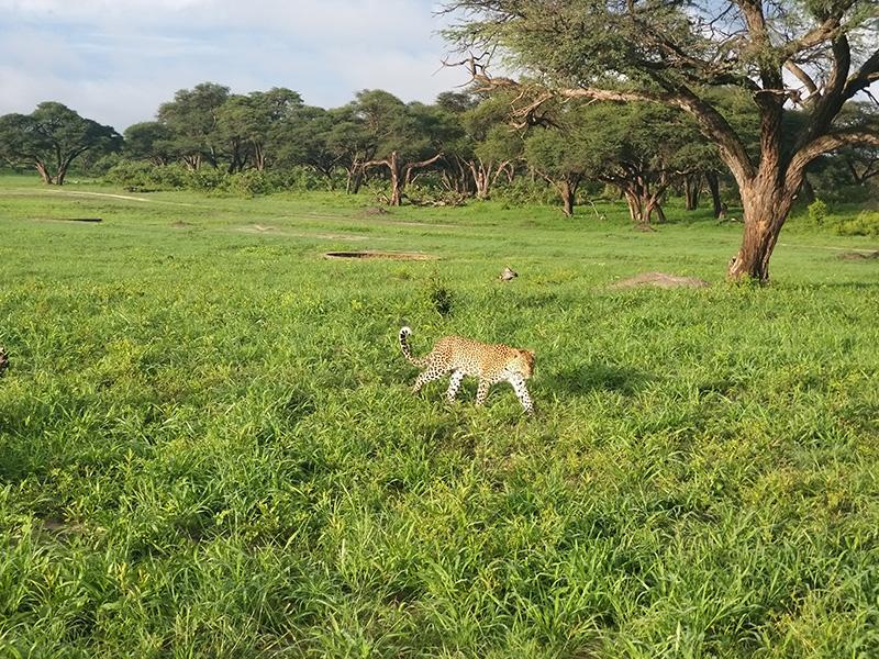 Leopard-somalisa-hwange