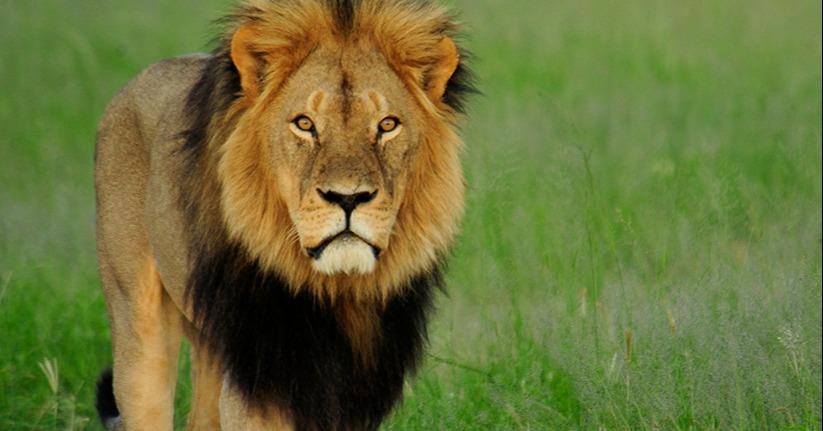 Somalisa, Hwange, Cecil the lion