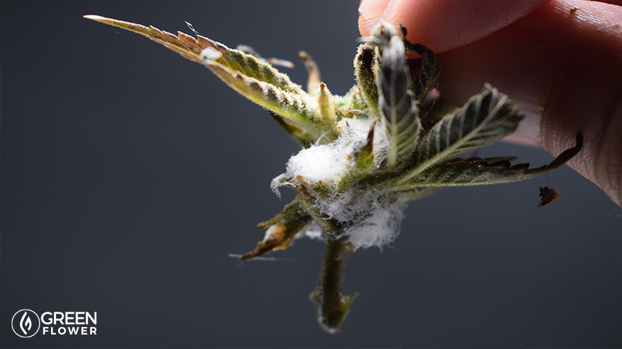 cannabis plant with mold