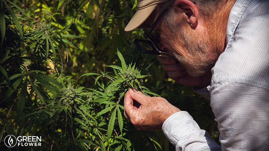 grower with a magnifying glass examining cannabis plants