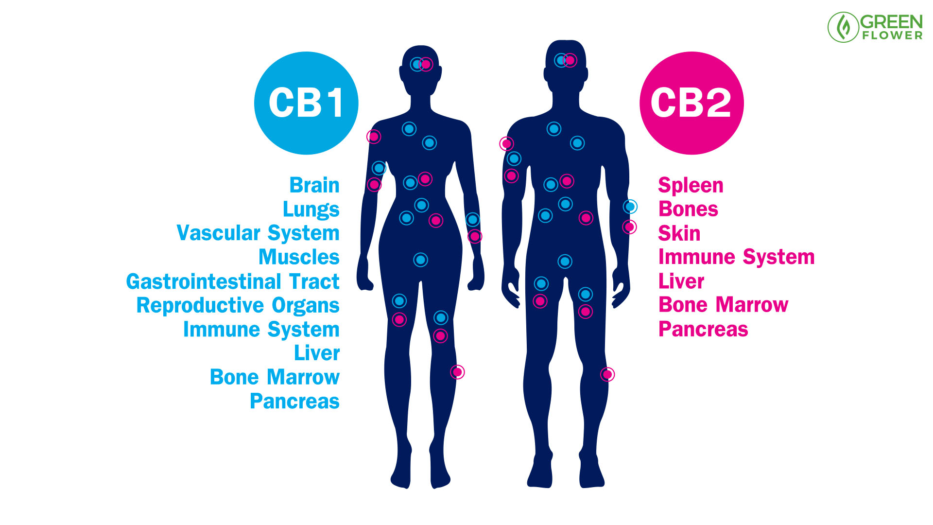 infographic showing CB1 & CB2 receptor sites in the human body