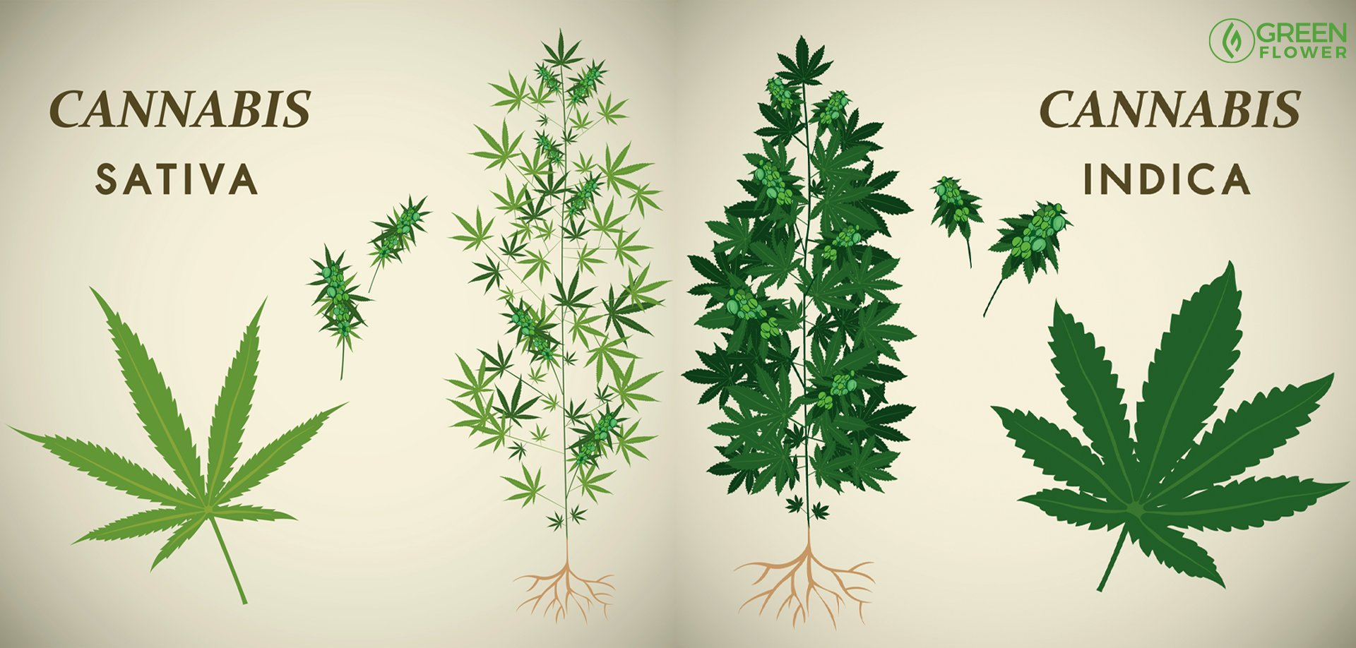 cannabis sativa plant (left) and cannabis indica plant (right)