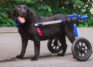Helping a disabled lab walk with a wheelchair
