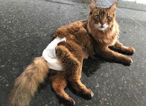 cat diaper for feline incontinence